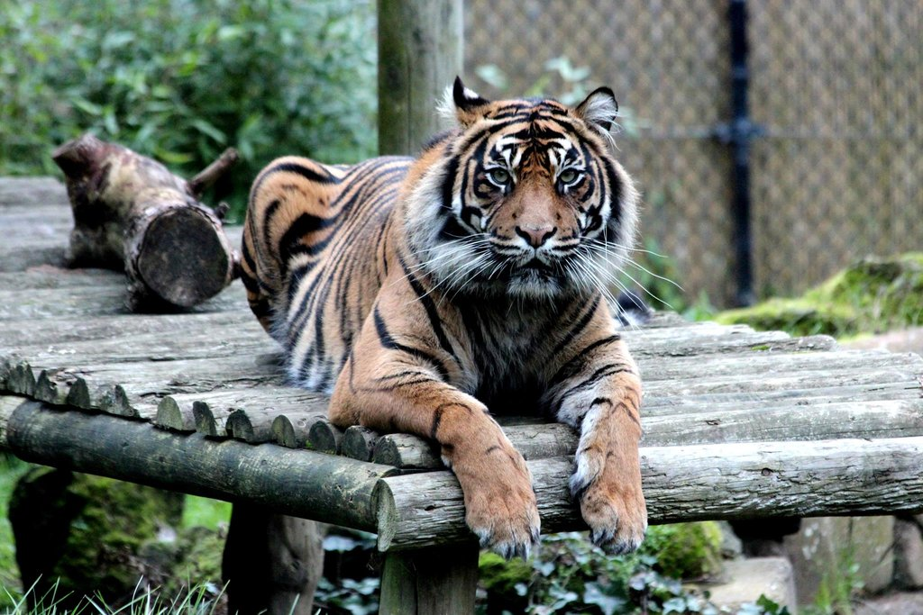 Chessington World of Adventures -Tiger